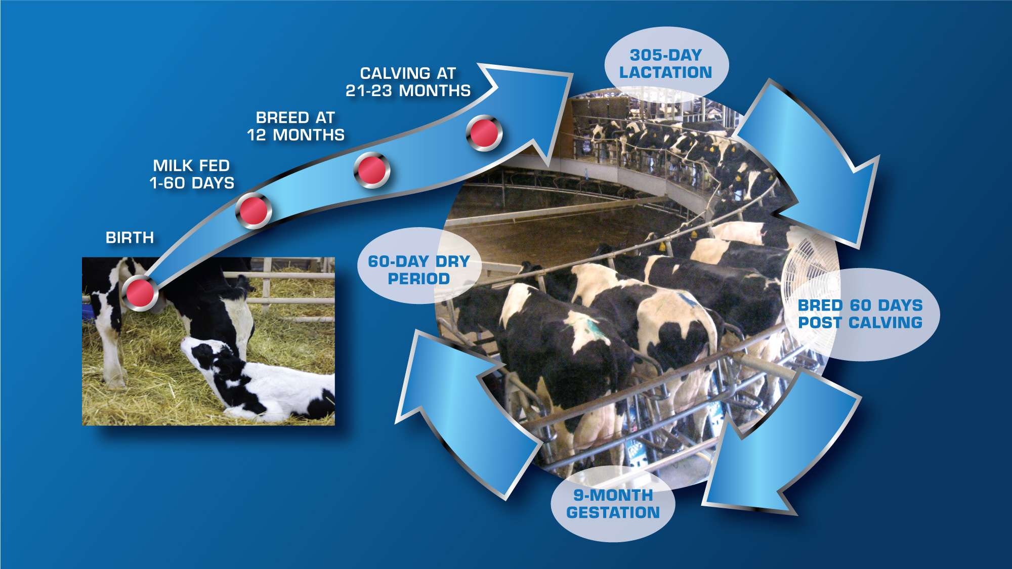life cycle of a dairy cow